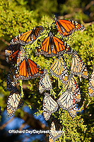 03536-05303 Monarch butterflies (Danaus plexippus) roosting in Eastern Red Cedar tree (Juniperus virginiana),  Prairie Ridge State Natural Area, Marion Co., IL