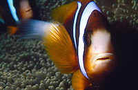 FISH<br /> Clownfish In Anemone<br /> Also known as clownfish, anemonefish  and certain damselfish are the only species of fishes that can avoid the potent poison of a sea anemone.They attract prey for the anemone while the anemone protects it from larger predators.
