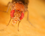 Fruit Fly (Drosophila melanogaster) eating fruit