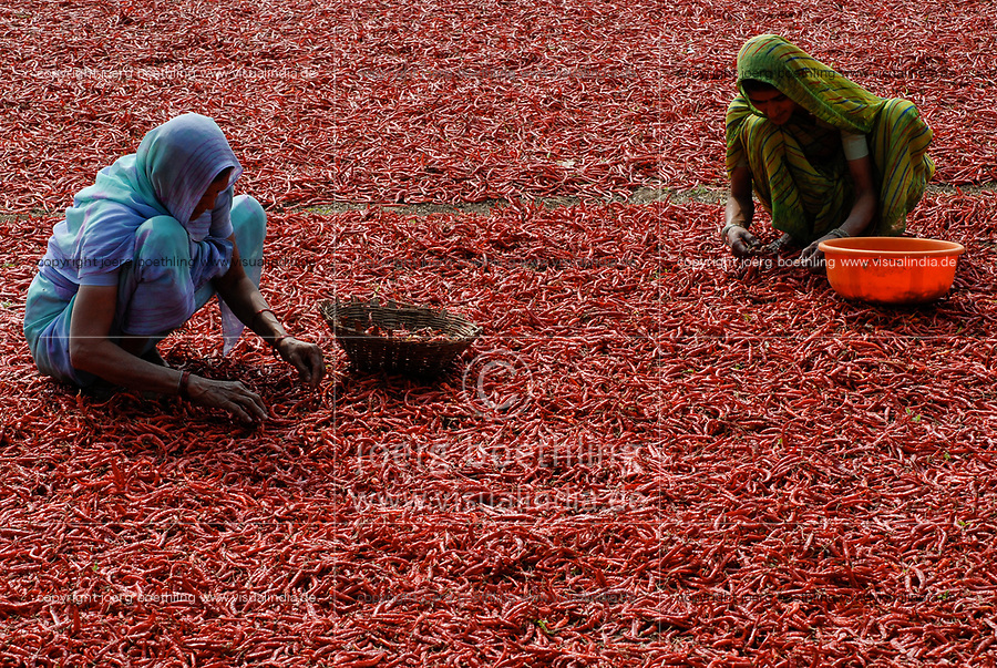 INDIA Madhya Pradesh , harvest and drying of red chilies at farm / INDIEN, Ernte und Trocknung von roten Chilies