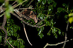 Possum in tree at night, Panama, Central America, Gamboa Reserve, Parque Nacional Soberania, Opossum, Family: Didelphidae