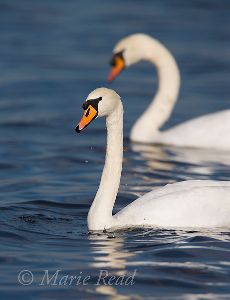 Mute Swans (Cygnus olor) pair, Montezuma National Wildlife Refuge, New York, USA