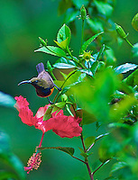 Brown-throated Sunbird (Anthreptes malacensis)Palawan
