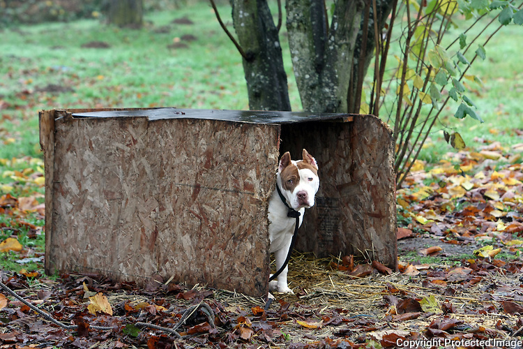 "An eight-month old pit bull peers out of his house in Kent, Wash. on December 10, 2008. Owner Kenneth Walton, age 16 is learning his father's business of training attack dogs and guard dogs.  His father Dwayne Walton Sr. says he's raised and trained dogs for twenty years and is trying to get a kennel license.  Says Dwayne ""As an American I should be able to train, contain, and do what I see possible as long as I'm not abusing them"" and stresses that he is not training dog fighting dogs.  ""I believe that if the state brings this law in they're going to be taking away a lot of good training.  For 25 years I've been able train my dogs.  I feel like I should be able to continue and turn my legacy to my kids.""(Karen Ducey/Seattle Post-Intelligencer)"