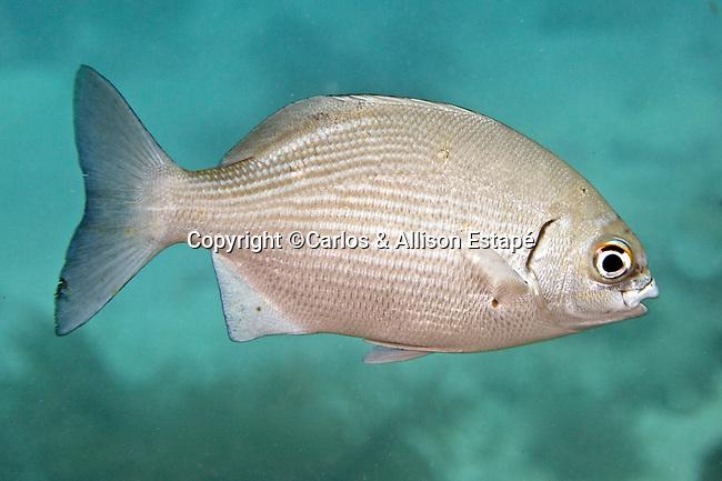 Kyphosus sectatrix, Bermuda sea-chub, Key West, Florida Keys