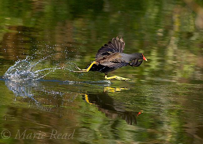 Common Moorhen (=Gallinule) (Gallinula chloropus), running across the water to take flight, Orlando, Florida, USA