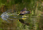 Common Moorhen (=Gallinule) (Gallinula chloropus), running across the water to take flight, Orlando, Florida, USA