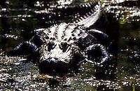 Aligator in Okefenokee Swamp in Florida, USA