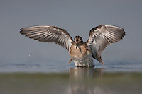 Least Sandpiper (Calidris minutilla) - Juvenile bathing, East Pond, Jamaica Bay Wildlife Refuge