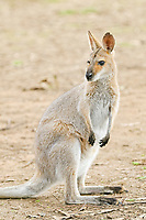 agile wallaby, or sandy wallaby, Macropus agilis, Queensland, Australia, Oceania