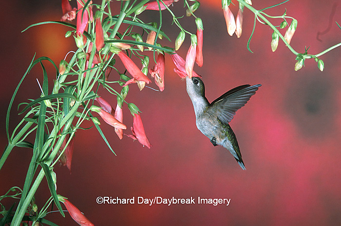 01162-05318 Ruby-throated Humminbird (Archilochus colubris) female on Penstemon (Penstemon barbatus) Shelby Co. IL