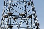 Foto: VidiPhoto<br /> <br /> ROSSUM – Ooievaars zijn maandag volop bezig hun nest op orde te brengen. Vroeger dan ooit zijn vrijwel alle ooievaarsnesten in de -inmiddels wereldberoemde- elektriciteitsmast van Rossum bezet. De mast is een aantal jaren geleden gekraakt en omgetoverd tot de eerste en enige ooievaarsflat van Nederland. Bouwmateriaal is voldoende voorhanden. De nesten zijn namelijk allemaal gebouwd van appeltakken, afkomstig van het snoeiwerk van het naastgelegen fruitbedrijf. In totaal telt de hoogspanningsmast negen nesten. Inmiddels zijn er al acht bezet. Een bijzonder en op het oog vredelievend gezicht. Niets is echter minder waar. De (hoog)spanning is er om te snijden. Zodra een echtpaar gezamenlijk op stap gaat om te fourageren of nestmateriaal te verzamelen, roven andere ooievaars takken en hooi uit het verlaten nest. Vaak blijft daarom een van beiden achter om het onderkomen te bewaken. Nederland telt inmiddels bijna 1100 broedparen, een aantal dat ieder jaar toeneemt. Ooievaars zijn inmiddels de vos voorbijgestreefd als predator van de jongen van weidevogels.