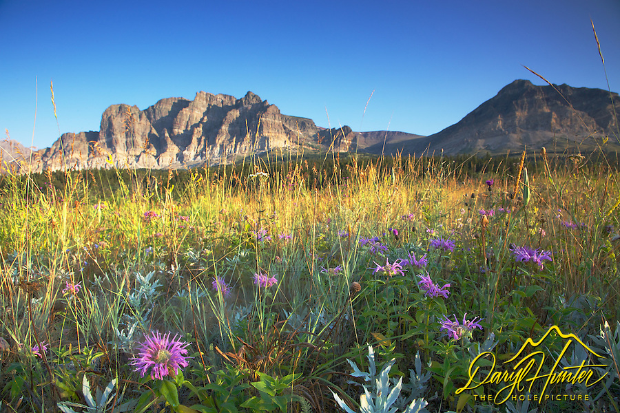 Wildflowers, Many Glacier, Glacier National Park