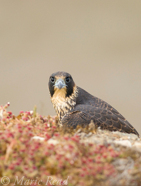 Peregrine Falcon (Falco peregrinus), juvenile plumage female, Long Beach, California, USA. Wild.