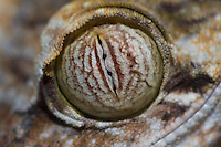 Close-up of an eye of a madagascar leaf-tailed gecko