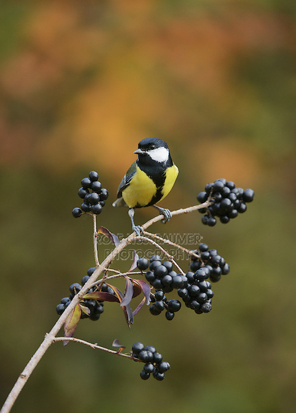 Great Tit (Parus major), adult perched on berry laden branch of common privet (Ligustrum vulgare), Oberaegeri, Switzerland, Europe