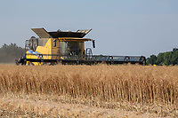 Harvesting oilseed rape<br /> &copy;Tim Scrivener Photographer 07850 303986<br />      ....Covering Agriculture In The UK....