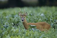 Europäisches Reh, Rehwild, Reh-Wild, Bock, Männchen, Capreolus capreolus, roe deer