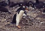 Gentoo penguin carrying stone, Falklands