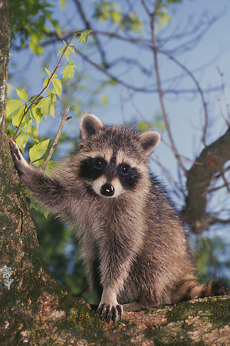 Raccoon adult  (Procyon lotor) with paw on tree watching Missouri USA