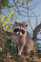 Raccoon adult  (Procyon lotor) with paw on tree watching Missouri USA