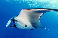 manta ray, Manta birostris, San Benedicto Island, Mexico, Pacific Ocean