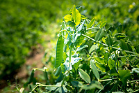 Vining peas ready for harvest - Lincolnshire, July