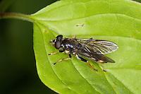 Goldhaar-Langbauchschwebfliege, Goldhaar-Langbauch-Schwebfliege, Langbauchschwebfliege, Langbauch-Schwebfliege, Weibchen, Schwebfliege, Xylota sylvarum, Common Red Leafwalker