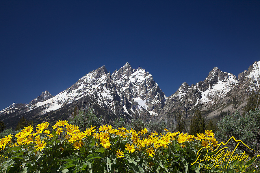 Wildflowers, Balsoom Root or mules ears blooming below the Cathedral Group in Grand  Teton National Park.   The Cathedral Group are the mountains on the left. They look like one mountain but the group consists of Mt. Teewinot on the left, Mt. Owen on the right and the Grand Teton nestled in the center. The Peak to the Right of of the group separated by Cascade Canyon is Mt. St. John.