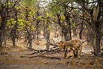 African Lion (Panthera leo) two year old males with mother in miombo woodland, Mudumu National Park, Namibia