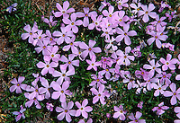 Longleaf Phlox (Phlox longifolia), Mt. St. Helens National Volcanic Monument, Washington, US