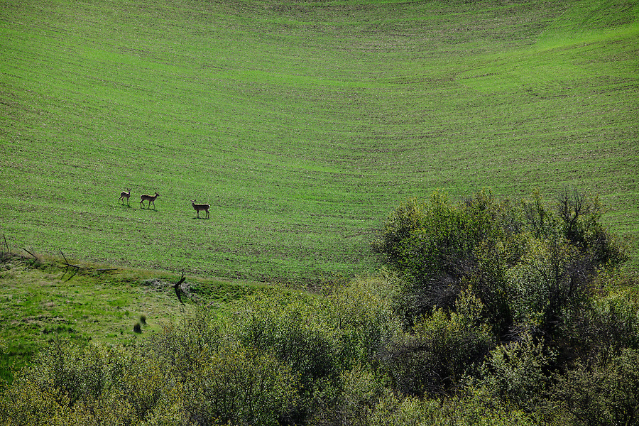 Three deer walk in green farmland with new growth as two look toward the camera from a distance in Eastern Washington State.