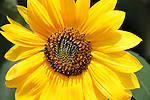 Beautiful small sunflower in full bloom at Phipps Conservatory in Pittsburgh.