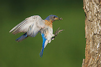 Eastern Bluebird, Sialia sialis, male in flight landing at nesting cavity with prey, Willacy County, Rio Grande Valley, Texas, USA