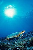 Hawksbill sea turtle, Eretmochelys imbricata, Rangiroa, Tuamotu Islands, French Polynesia, S . Pacific Ocean