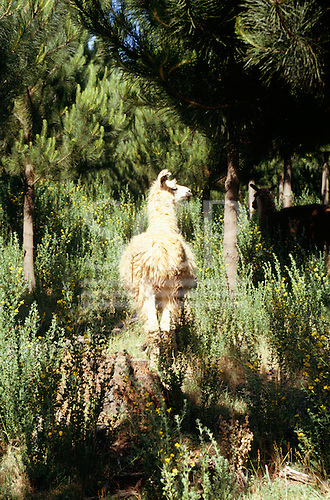 Southern Chile. Llama walking through luscious green vegetation in the countryside.
