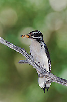 Hairy Woodpecker, Picoides villosus,adult female with prey perched,Rocky Mountain National Park, Colorado, USA, June 2007