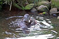 Fischotter frisst erbeuteten Fisch, Fisch-Otter, Lutra lutra, Otter, Loutre