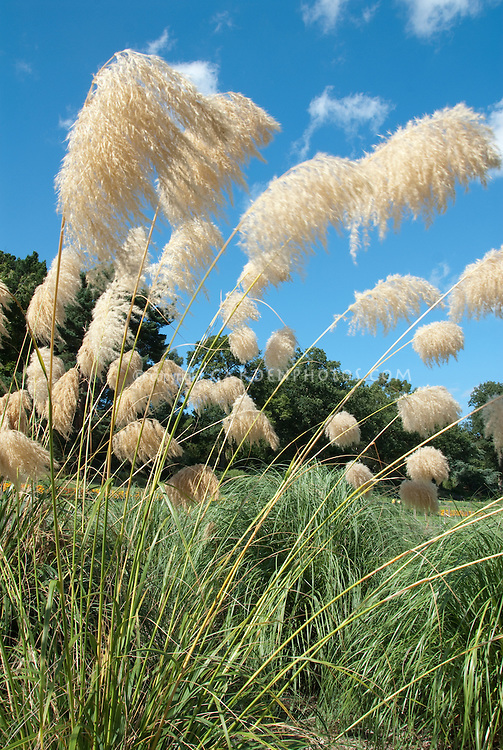 Cortaderia fulvida plant flower stock photography for Ornamental grass with blue flowers