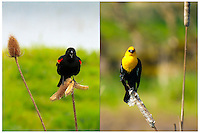 Two different photos of a red-winged blackbird (Agelaius phoeniceus) sitting on a teasel comb (Dipsacus fullonum) and a yellow-headed blackbird (xanthocephalus) sits on a cattail with grass in the background staring at viewer and both seems to have an attitude in the Ridgefield National Wildlife Refuge.