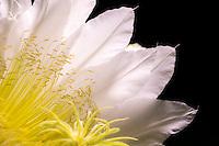 Night Blooming Cereus<br /> St. John<br /> Virgin Islands