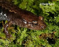 0602-0879  Mountain Dusky Salamander, Desmognathus ochrophaeus  © David Kuhn/Dwight Kuhn Photography