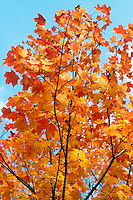 FALL FOLIAGE<br /> Westchester County, NY<br /> In the autumn, trees stop photosynthesis. As the green chlorophyll disappears from the leaves, yellow orange and red become visible. Glucose in maple leaves turns red from sunlight and cool nights.