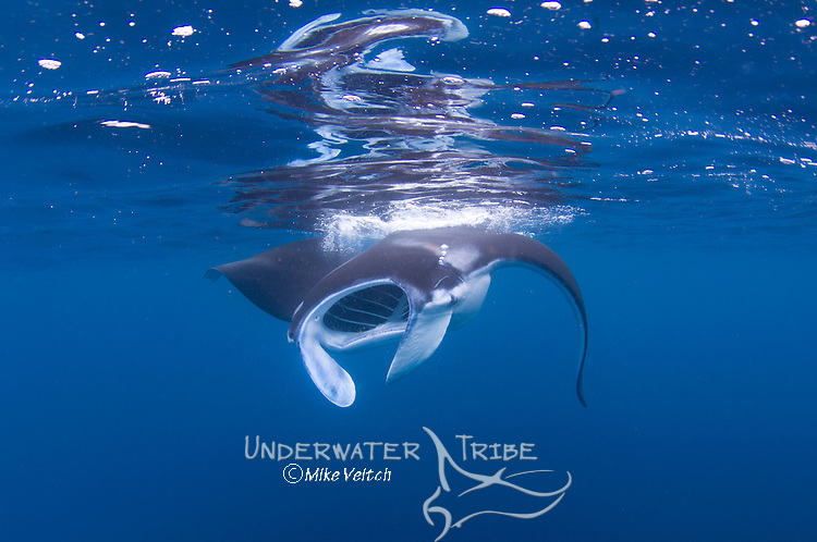 A juvenile Manta ray, Manta birostris, feeds at the surface, Manta Sandy, Dampier Strait, Raja Ampat, West Papua, Indonesia, Pacific Ocean
