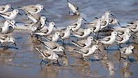 Sandpipers flocking on a beach on Talbot Island, Jacksonville, Florida