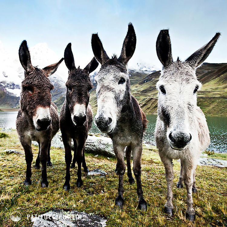 A group of curious donkeys stand looking at the camera in the Cordillera Huayhuash, Peru