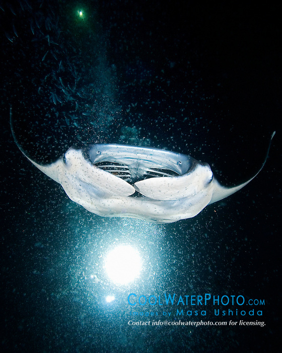 Manta Ray, Manta birostris, feeding on plankton at night, off Kona Coast, Big Island, Hawaii, Pacific Ocean.