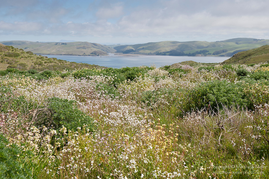 Tule Elk Reserve, Point Reyes National Seashore, California; looking east over a field of spring wildflowers, across Tomales Bay toward Preston Point and Walker Creek on the California mainland