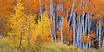 Grand Teton National Park, WY<br /> Grove of aspen (Populus tremuloides) trees and willows in fall color in the wetlands at the Snake River Oxbow