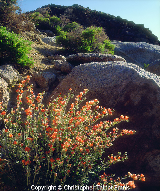 USA; California; Mallow Wildflowers in the Sierra Nevada Mountains